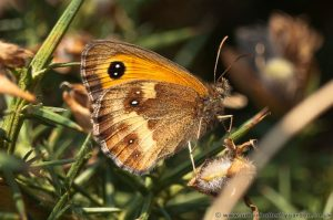 Gatekeeper Butterfly on Gorse Bush, Kelling Heath