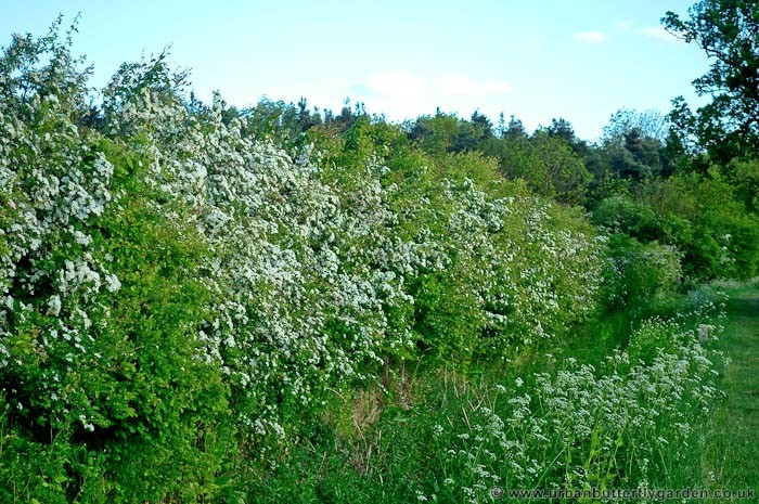 Hawthorn, Native Shrub in Hedgerows across Britain | Urban ...