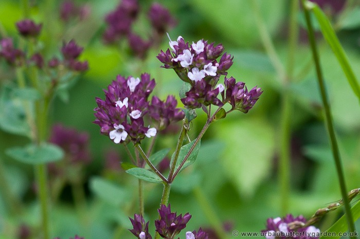 Wild marjoram for a wildflower or butterfly garden urban butterfly wild marjoram a wild flower with many small pink and white flowers in july mightylinksfo