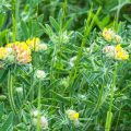 Kidney Vetch flowering in May