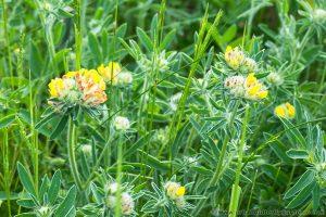 Kidney Vetch flowering in May