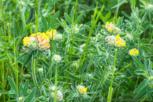 Kidney vetch anthyllis vulneraria urban butterfly garden kidney vetch flowering in may mightylinksfo