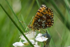 Small Pearl-bordered Fritillary under wings