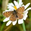 Glanville Fritillary (melitaea cinxia) resting with open wings