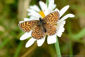 Glanville Fritillary (melitaea cinxia) resting with open wings
