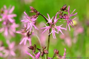 Ragged Robin pink flowers and buds in May