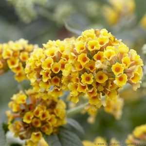 Buddleia sungold yellow flowering buddleia