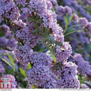 Buddleja x alternifolia lilac-purple coloured flowers