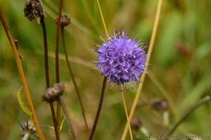 Devil's-bit-Scabious, small blue pincushion flowers
