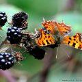 Comma Butterfly feeding on ripe Blackberries