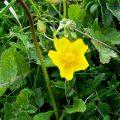 Common Rock Rose (halianthemum nummularium) flower buds and leaves