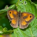 Gatekeeper Butterfly-Male