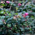 Snowberry Bush with snow Berrys