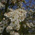 Blackthorn (Prunus spinosa) native shrub in flower