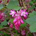 Flowering Currant (Ribes Sanguineum) flowers and leaves