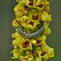 Mullein Moth (Cucullia verbasci) on Dark Mullein plant