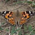 Painted Lady Butterfly (Vanessa cardui) August