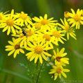 Ragwort (Senecio jacobaea) wildflower