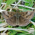 Dingy Skipper Butterfly (Erynnis tages) Ketton Quarry