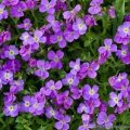 Aubretia, Plants for a Butterfly Garden