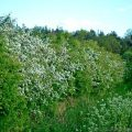 Hawthorn (Crategus monogyna) bushes flowering in a Native Hedgerow
