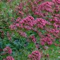 Red Valerian (centranthus ruber) nectar plants butterflies and bees